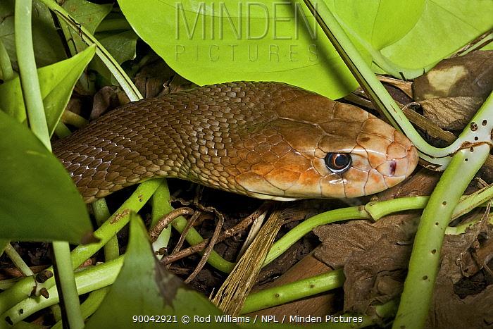 Taipan snake (Oxyuranus scutellatus) in undergrowth Occurs Northern Australia, June 2OO8 Captive  -  Rod Williams/ npl
