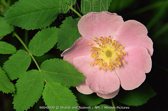 Nootka rose (Rosa nutkana) flower, USA  -  Shattil & Rozinski/ npl