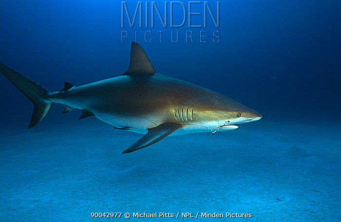 Caribbean reef shark (Carcharhinus perez) with fishing hook embedded in jaw and wire trace attached Bahamas  -  Michael Pitts/ npl