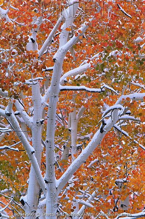 Aspen tree (Populus tremula) with the first snow of winter, USA  -  Shattil & Rozinski/ npl