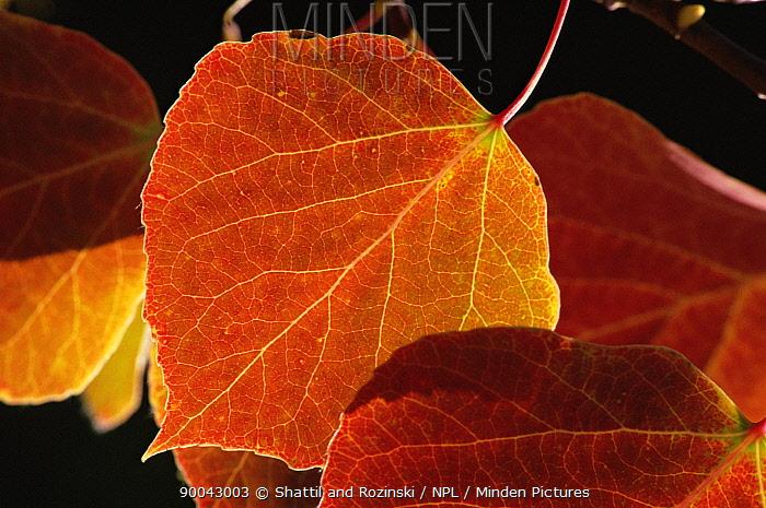 Leaves of Aspen tree (Populus tremula) in autumn, USA  -  Shattil & Rozinski/ npl