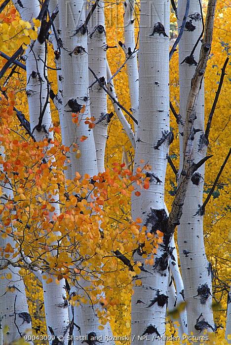 Aspen tree (Populus tremula) leaves and trunks in autumn, USA  -  Shattil & Rozinski/ npl