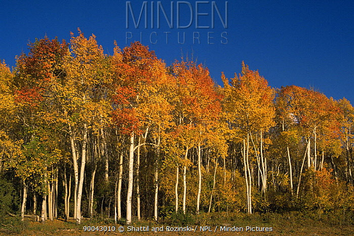 Aspen trees (Populus tremula) in autumn, Colorado, USA  -  Shattil & Rozinski/ npl