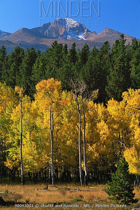 Rocky Mountain NP with Aspen trees (Populus tremula) in autumn, Longs Peak in the background, Colorado, USA  -  Shattil & Rozinski/ npl