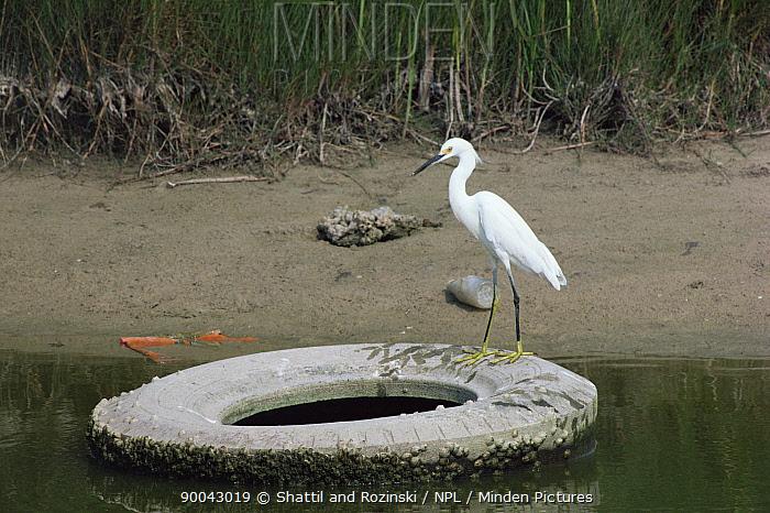 Snowy Egret (Egretta thula) perched on discarded tyre in swamp, Texas  -  Shattil & Rozinski/ npl