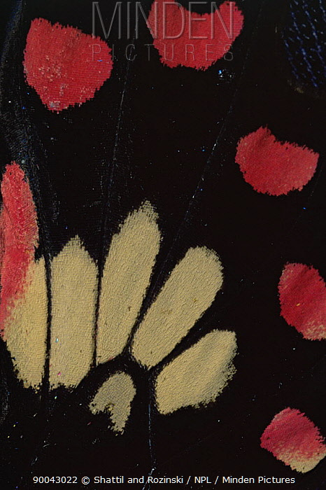 Swallowtail (Papilionidae) wing patternClose of pattern on wing of Papilionidae butterfly, Sri Lanka  -  Shattil & Rozinski/ npl