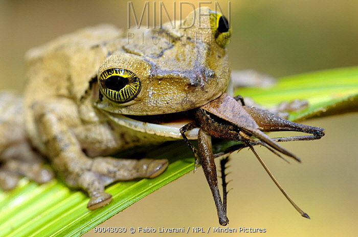 Tree frog (Hyla sp) feeding on grasshopper, Tambopata National Reserve, Amazonia, Peru  -  Fabio Liverani/ npl