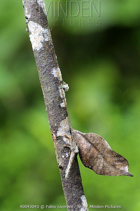 Bush cricket (Typophyllum trigonum) camouflaged as leaf in rainforet, Tambopata National Reserve, Amazonia, Peru  -  Fabio Liverani/ npl