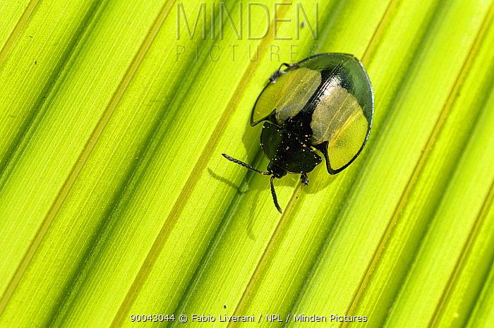 Tropical ladybird (Coccinellidae) on leaf, Tambopata National Reserve, Amazonia, Peru  -  Fabio Liverani/ npl