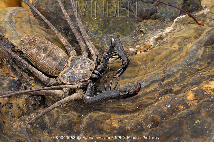 Camel spider (Solifugae) Tambopata National reserve, Amazonia, Peru  -  Fabio Liverani/ npl