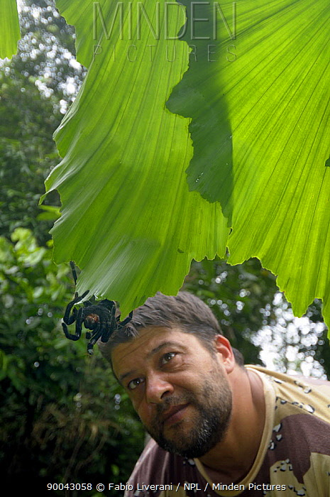 Man watching Tarantula spider (Pamphobeteus sp) Tambopata National Reserve, Amazonia, Peru  -  Fabio Liverani/ npl
