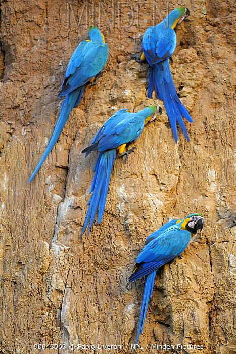 Blue and yellow macaws (Ara ararauna) feeding at dawn on clay lick, Collpa Colorado, Tambopata National reserve, Amazonia, Peru  -  Fabio Liverani/ npl