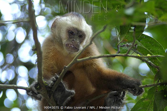 White fronted capuchin (Cebus albifrons) looking down from tree, Monkey Island, River Maldonado, Tambopata National Reserve, Amazonia, Peru  -  Fabio Liverani/ npl