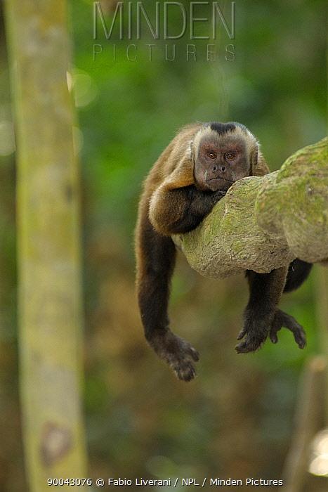 White fronted capuchin (Cebus albifrons) resting in tree, Monkey Island, River Maldonado, Tambopata National Reserve, Amazonia, Peru  -  Fabio Liverani/ npl
