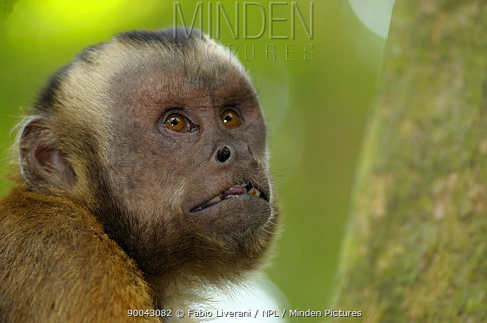 White fronted capuchin (Cebus albifrons) portrait, Monkey Island, River Maldonado, Tambopata National Reserve, Amazonia, Peru  -  Fabio Liverani/ npl