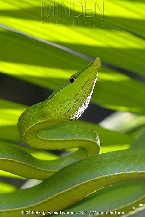 Green vine snake (Oxybelis fulgidus) Tambopata National Reserve, Amazonia, Peru  -  Fabio Liverani/ npl