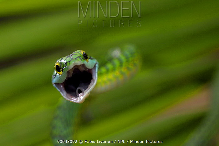 Parrot snake (Leptophis ahaetulla) with mouth wide open, Tambopata National Reserve, Amazonia, Peru  -  Fabio Liverani/ npl