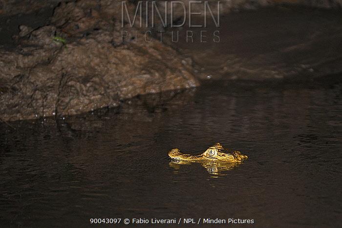 Spectacled caiman (Caiman crododilus) in River Tambopata at night, Tambopata National Reserve, Amazonia, Peru  -  Fabio Liverani/ npl