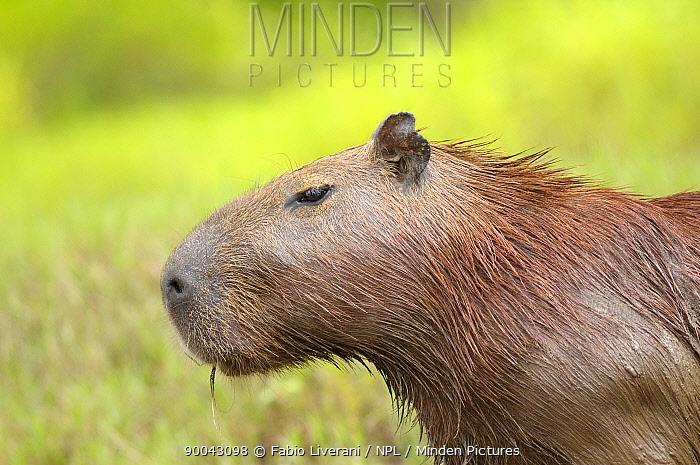 Capybara (Hydrochaeris hydrochaeris) Tambopata National reserve, Amazonia, Peru  -  Fabio Liverani/ npl