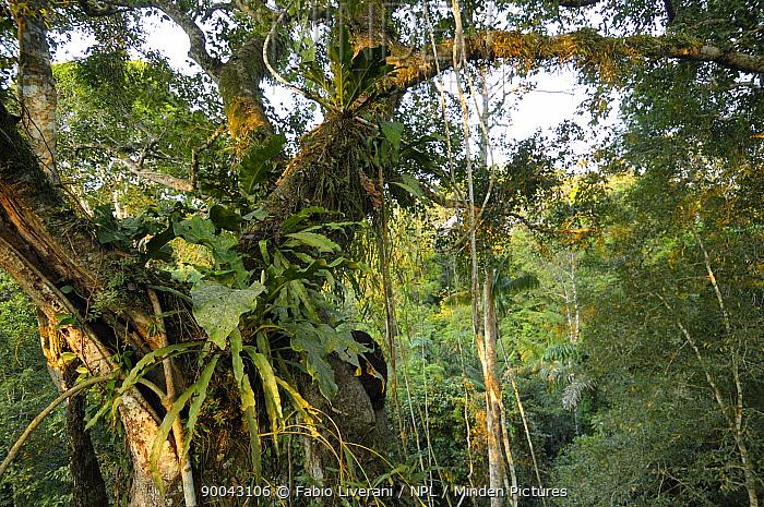 Lianas, epiphytes and other plants in rainforest tree near canopy, Tambopata National reserve, Amazonia, Peru  -  Fabio Liverani/ npl