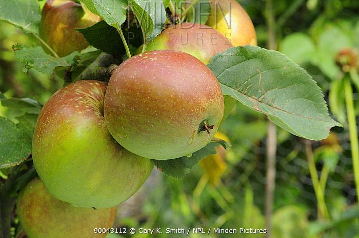 Kings Acre Pippin' apples on Apple tree (Malus domesticus) Norfolk, UK, September  -  Gary K. Smith/ npl