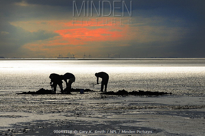 Bait diggers digging for lugworms on The Wash with wind farm turbines in the background, Norfolk, UK, August,  -  Gary K. Smith/ npl
