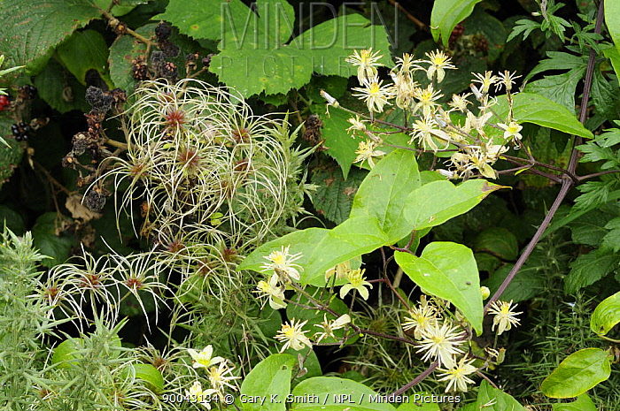 Old man's beard, Travellers joy (Clematis vitalba) growing in hedgerow showing seed-head plumes and flowers, Norfolk, UK, September  -  Gary K. Smith/ npl