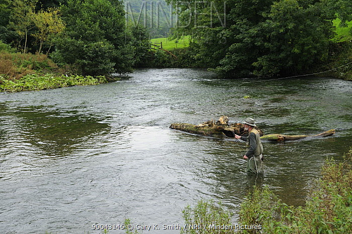 Fly fishing for Brown Trout and Grayling on the River Dove, Peak District NP, Derbyshire, UK, September  -  Gary K. Smith/ npl