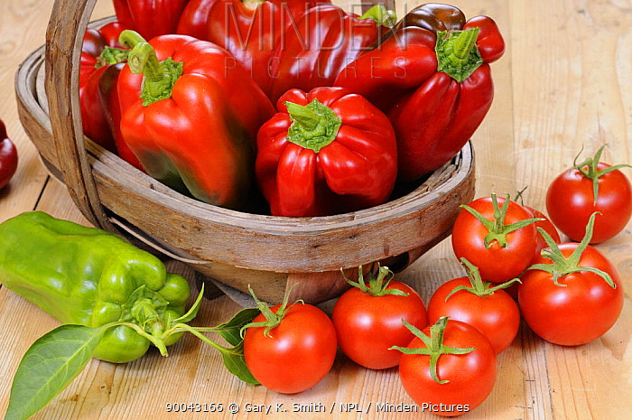 Freshly picked home grown organic Sweet Peppers and Tomatoes, in rustic basket on country kitchen table, UK  -  Gary K. Smith/ npl