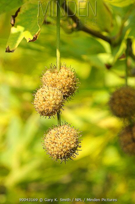 London plane tree (platanus x hispanica) fruiting catkins, Norfolk, UK, September,  -  Gary K. Smith/ npl