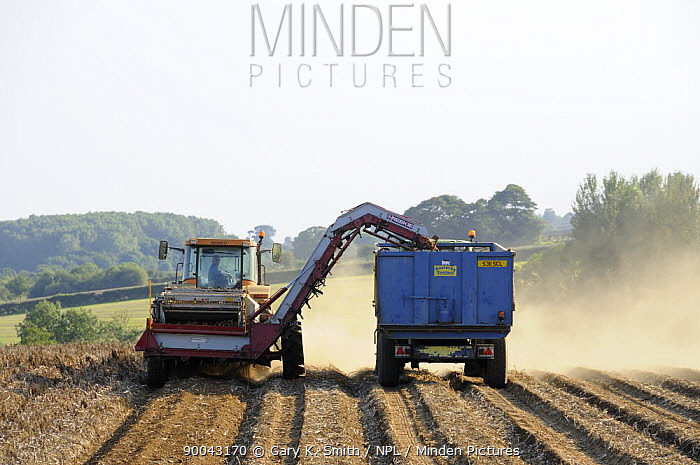 Mechanised potato harvesting, Norfolk, UK, September  -  Gary K. Smith/ npl