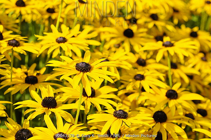 Rudbeckia (Fulgida deamii) flowers, Norfolk, UK, September,  -  Gary K. Smith/ npl