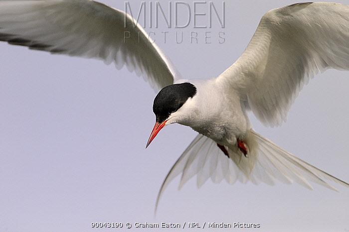 Arctic Tern (Sterna paradisaea) in flight, Alaska, USA, June  -  Graham Eaton/ npl