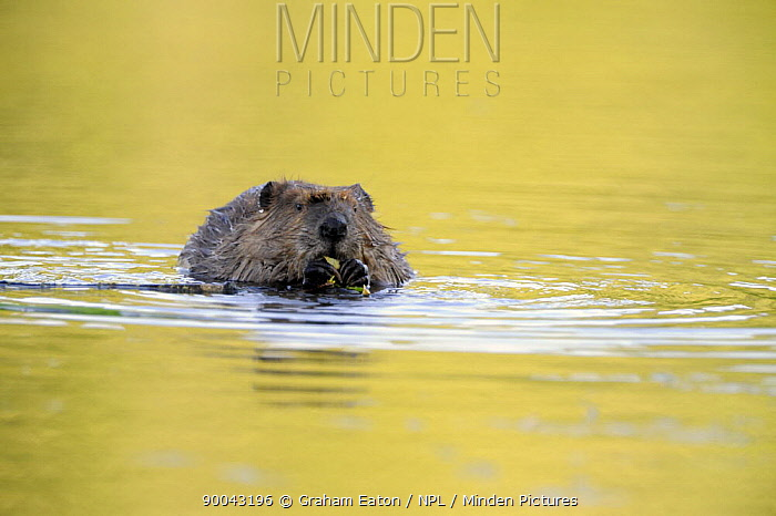 American Beaver (Castor canadensis) in lake with twig in mouth, Alaska, USA, June  -  Graham Eaton/ npl