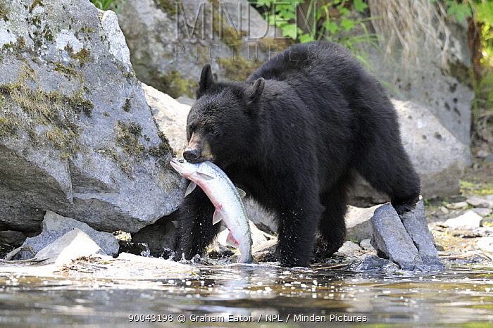 Black Bear (Ursus americanus) with a salmon in its mouth, Alaska, USA, June  -  Graham Eaton/ npl