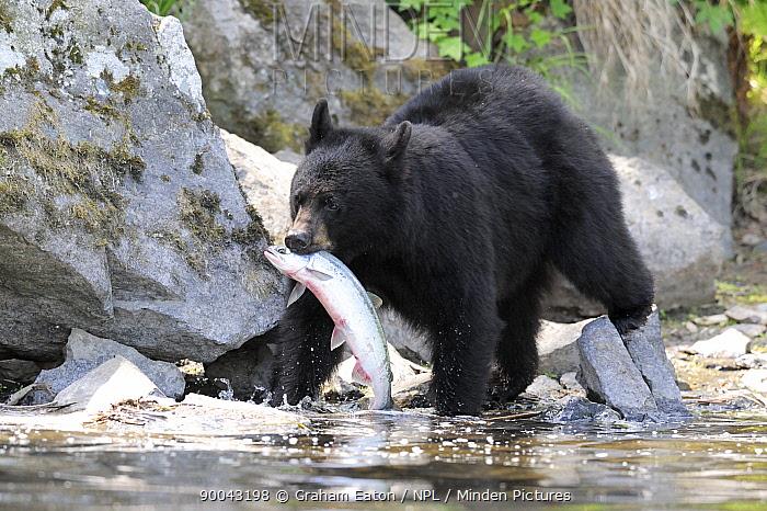 Black Bear (Ursus americanus) with a salmon in its mouth, Alaska, USA, June  -  Graham Eaton/ npl