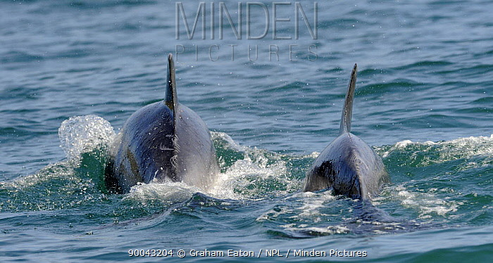 Bottlenose Dolphin (Tursiops truncatus) mother and calf at surface, Cardigan Bay, Wales, United Kingdom  -  Graham Eaton/ npl