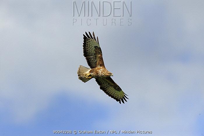 Common Buzzard (Buteo buteo) in flight, Mid Wales, UK, April  -  Graham Eaton/ npl