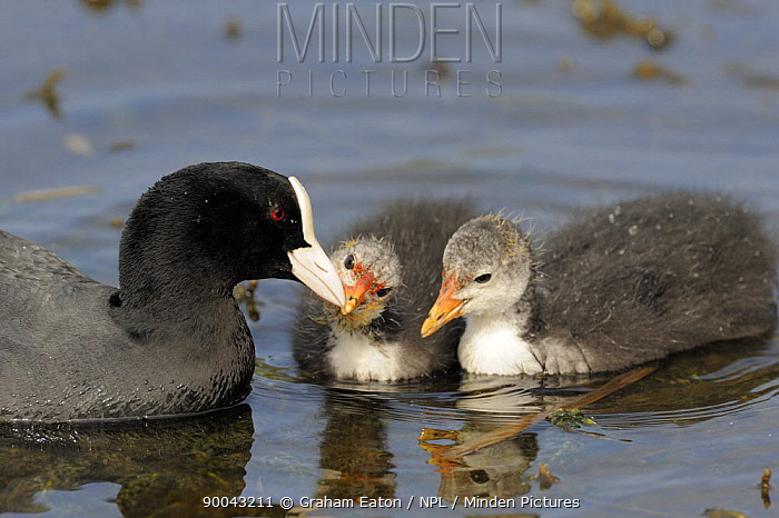 Coot (Fulica atra) adult with two chicks on lake, Wirral, UK, May  -  Graham Eaton/ npl