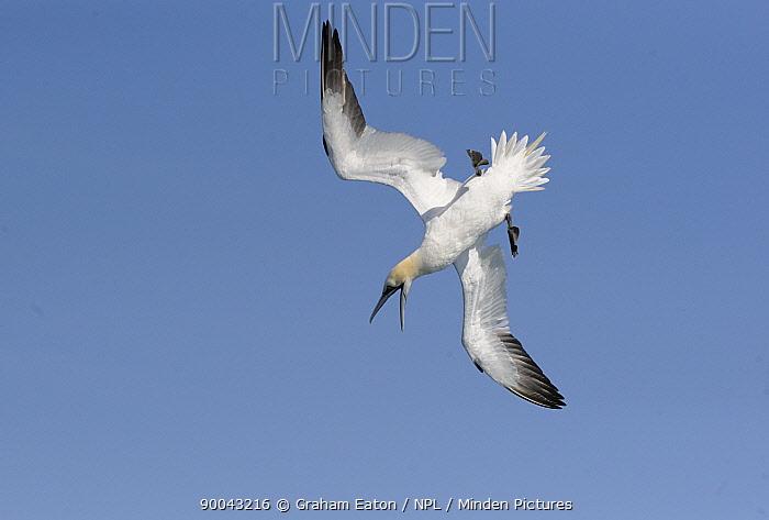 Gannet (Morus bassanus) preparing to dive, UK, June 08  -  Graham Eaton/ npl