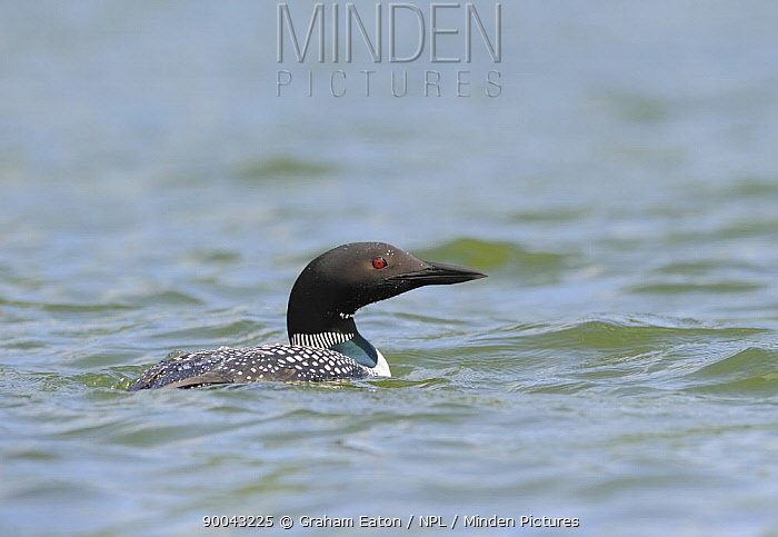 Great Northern Diver, Common loon (Gavia immer) on water, Alaska, USA, June  -  Graham Eaton/ npl