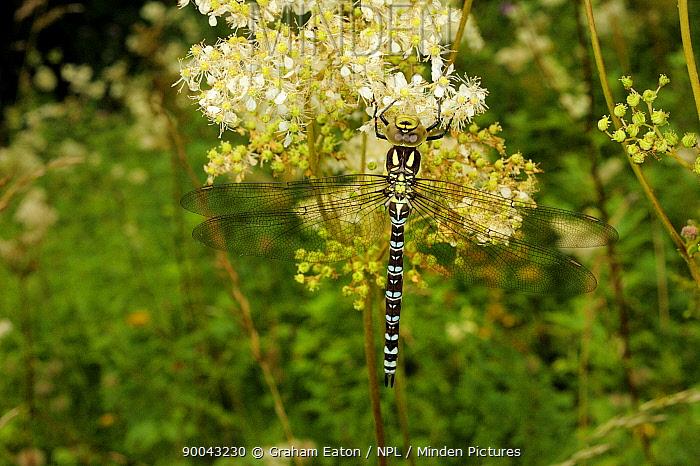 Hairy Dragonfly (Brachytron pratense) Wales, UK, August  -  Graham Eaton/ npl