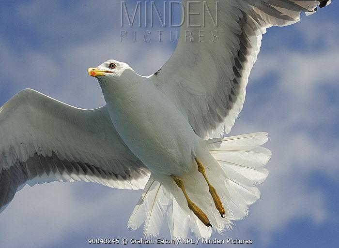 Lesser Black-backed Gull (Larus fuscus) flying, Wales, UK  -  Graham Eaton/ npl