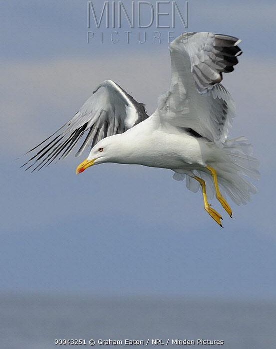 Lesser Black-backed Gull (Larus fuscus) flying over the sea searching for food, Cardigan Bay, Wales, UK, May  -  Graham Eaton/ npl