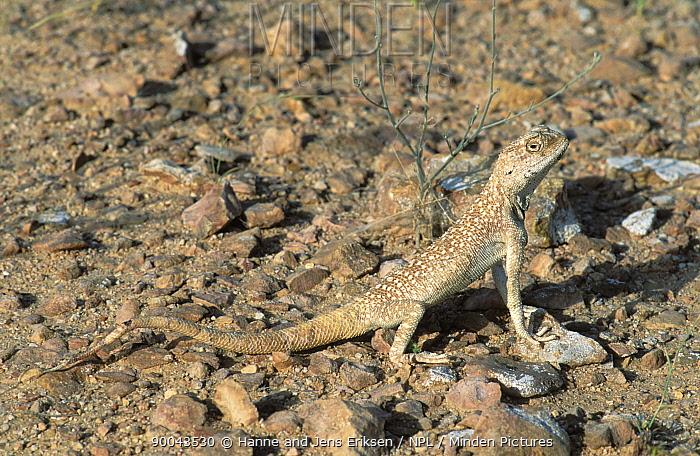Yellow spotted agama (Trapelus flavimaculatus) Jiddat Al Harasis, Oman  -  Hanne & Jens Eriksen/ npl
