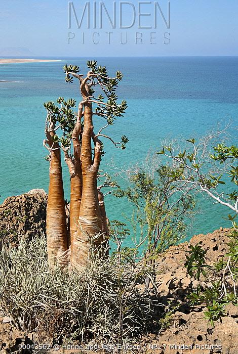 Cucumber tree (Dendrosicyos socotrana) on coast near Hadibo, Socotra, Yemen  -  Hanne & Jens Eriksen/ npl