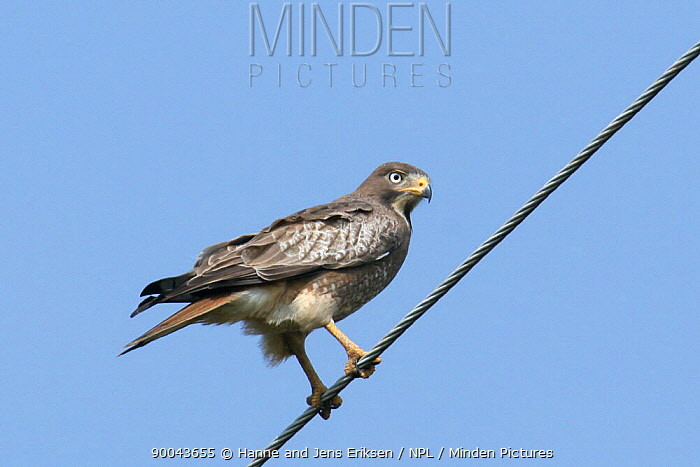 White eyed buzzard (Butastur teesa) perched on wire, Tamil Nadu, India  -  Hanne & Jens Eriksen/ npl