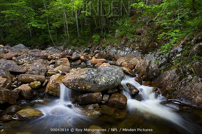 Stream running through pristine broad leaved forest in southern Norway June  -  Roy Mangersnes/ npl