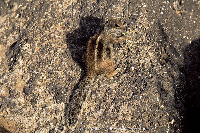 Barbary Ground Squirrel (Atlantoxerus getulus) Fuerteventura, Canary Islands Introduced to Fuerteventura from North Africa as a household pet in 1965 and then escaped into the wild  -  Francis Abbott/ npl