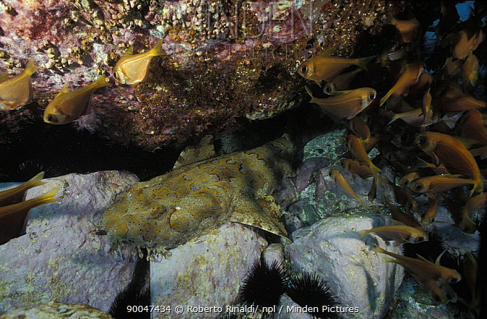 Spotted Wobbegong (Orectolobus maculatus) under a rock, with shoal of fish, Australia  -  Roberto Rinaldi/ npl